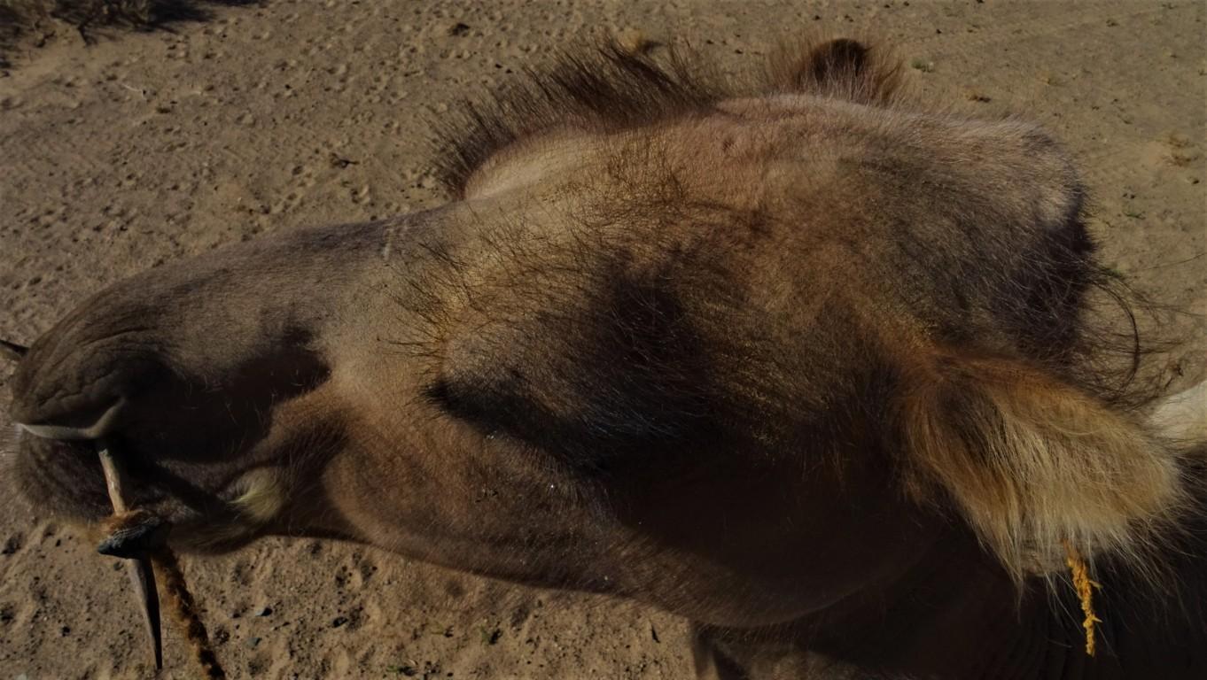 J3 chameaux 1