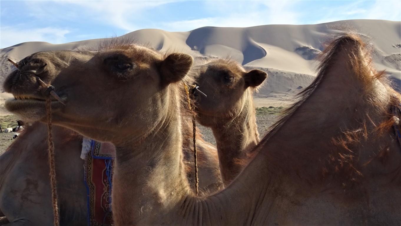 J3 chameaux 4